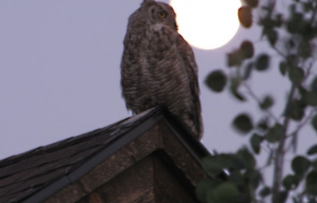 Owl_on_house
